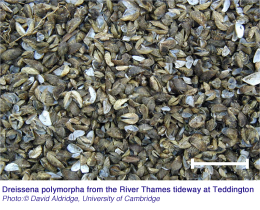 Dreissena polymorpha from the River Thames tideway at Teddington credit David Aldridge University of Cambridge