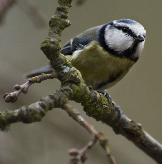 caterpillars Blue Tit1