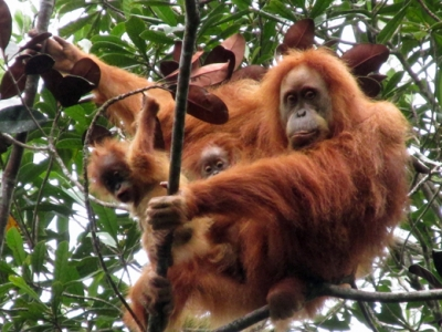 Rarest ape sighted with twins as Bodyshop & conservationists counter hydroelectric dam